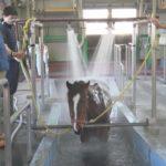 いー湯だな、馬ものんびり  函館競馬場でけが癒やす